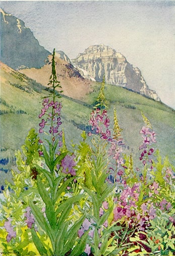 Mount Stephen: Fireweed by WJ Phillips